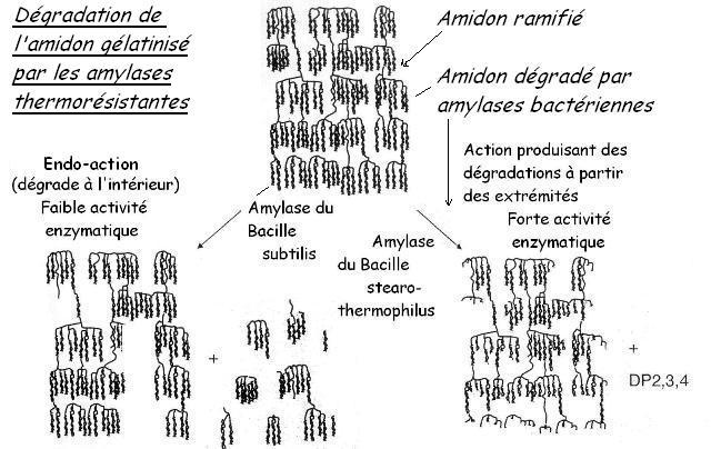 3_Effetamylase_bacterienne_retrogradation
