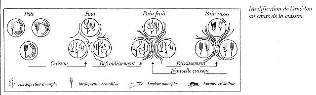 3_Modification_amidon_en_cuisson