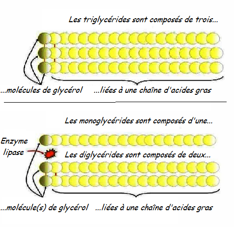 1311857329_Modif_tri_glycerides